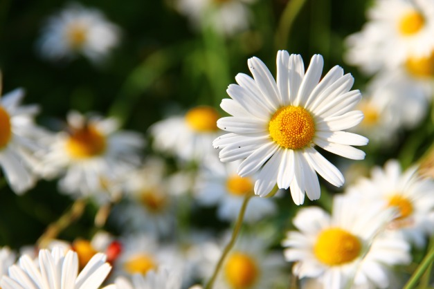 daisies-276112